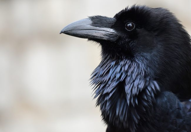 Types of Black Birds Commonly Found in America