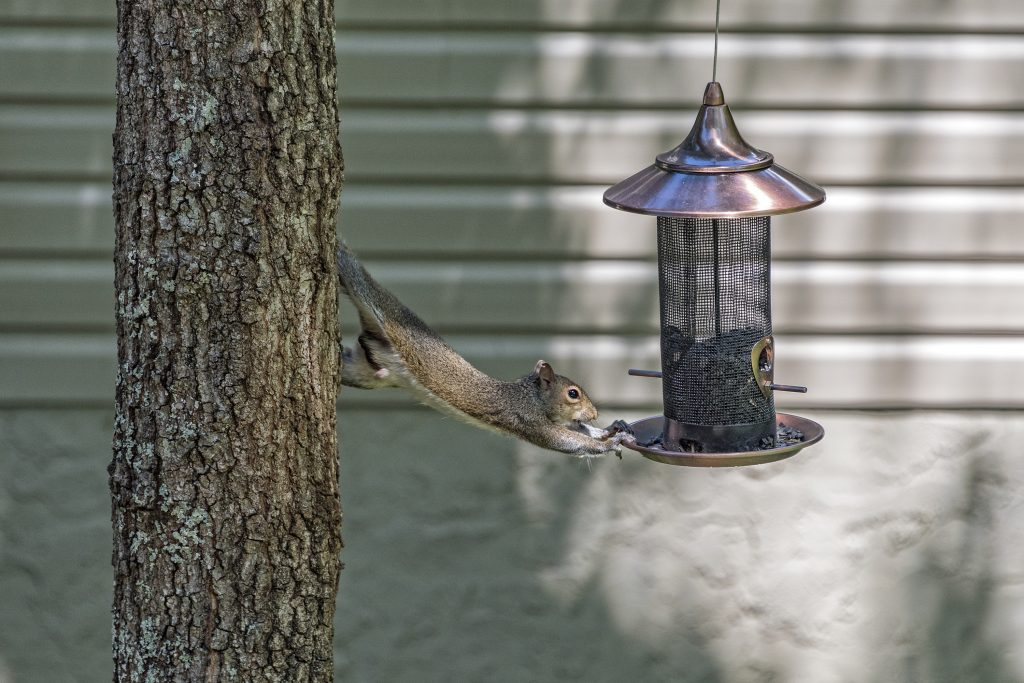 Squirrel reaching