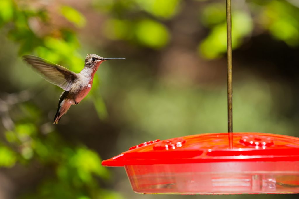 Hummingbird flying