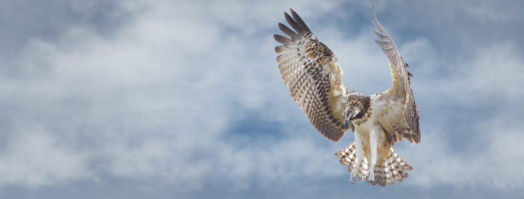 Osprey flying