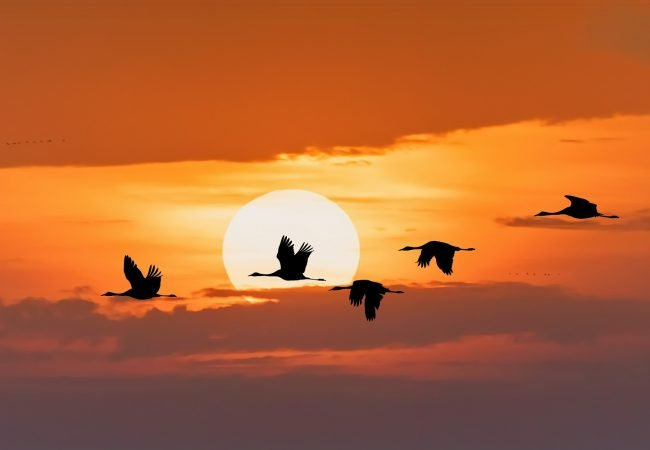 Types of Bird Migration