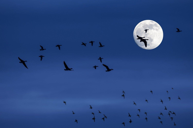 Flock of migrating ducks