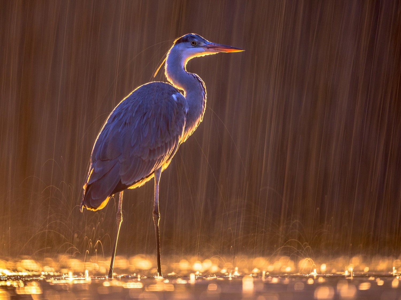 Silhouette of Grey heron