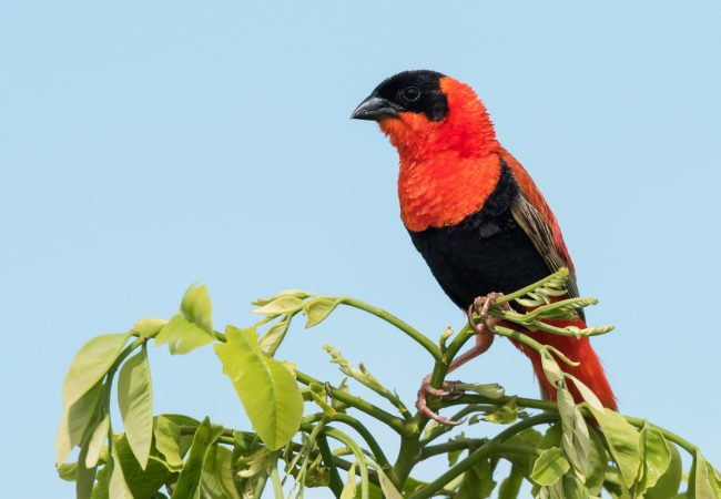 Northern Red Bishop – Identification, Facts, Habitat