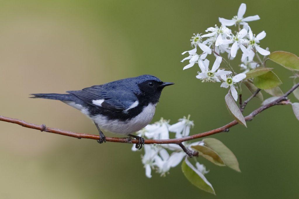 Male Black-throated