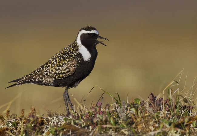 American Golden Plover – Identification, Facts, and Habitat