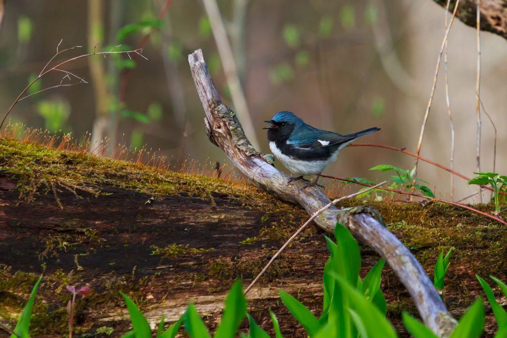 blue warbler perched