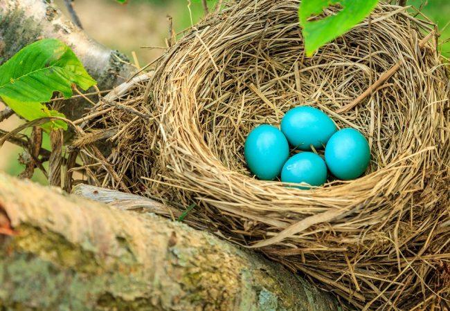How Long Do Birds Incubate Their Eggs For?